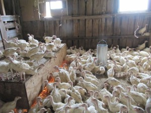 Young turkeys at Stillman Quality Meats, Hardwick. Photo: Cathy Stanton