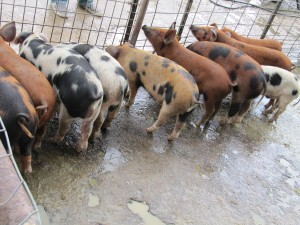 Young pigs at Stillman Quality Meats' Greenwich Road farm. Photo: Cathy Stanton